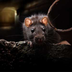 Mouse in a Florida home to be removed by Farrow's rodent control program