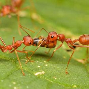 Fire ants in Sarasota, Florida to be controlled by Farrow Pest Services